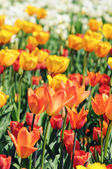 Orange tulips in flowerbed with back lit in springtime. — Stock Photo