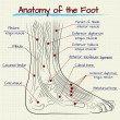 ������, ������: The structure of the human foot