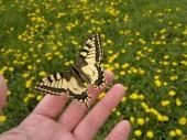 Swallowtail on a human hand — Stock Photo