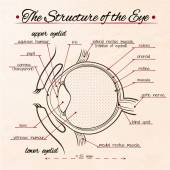 The structure of the human eye — Stock Vector