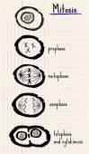ベクトル描画有糸分裂 — ストックベクタ