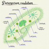 The structure of Paramecium saudatum — Stock Vector