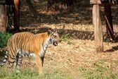 Bengal tiger — Stockfoto