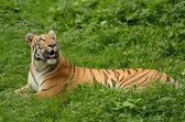 Bengaalse tijger — Stockfoto