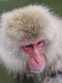 Snow Monkey — 图库照片