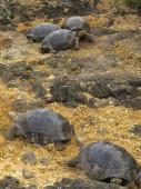 Tortue géante des Galapagos — Photo