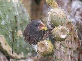Cactus Finch — Stock Photo
