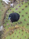 Large Cactus Finch — Stock Photo