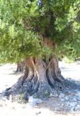Olive tree — Stock fotografie