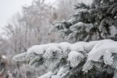 White fur-tree branch with snow — Stock Photo