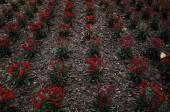 Red flowers farm — Stock Photo