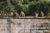 Monkeys on stone wall — Stock Photo