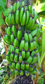 Grüne Bananen auf Banano oder einen Musa Paradisiaca Baum — Stockfoto