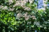 Bird-cherry tree — Stock Photo