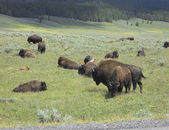Buffalos on a green field — Stock Photo
