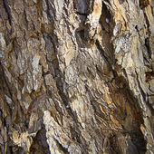 Tree trunk texture — Stock Photo