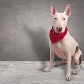 White dog on gray background — Stock Photo