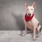 White dog on gray background — Zdjęcie stockowe
