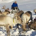 Saami men feed reindeers in harsh winter conditions, Tromso region, Northern Norway — Stock Photo #60994731