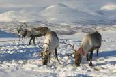 Reindeers in natural environment, Tromso region, Northern Norway. — Stock Photo