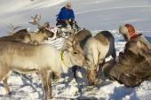 Saami men feed reindeers in harsh winter conditions, Tromso region, Northern Norway — Stock Photo