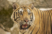 Adult Indochinese tiger. — Stock Photo