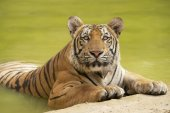 Adult Indochinese tiger at the waterside. — Stock Photo