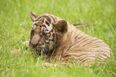 Baby Indochinese tiger plays on the grass — Foto de Stock