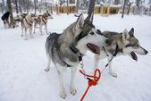 Sledge dogs eager to run, Kakslauttanen, Lapland, Finland. — Stock Photo