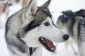 Sledge dog eager to run, Kakslauttanen, Lapland, Finland. — Stock fotografie