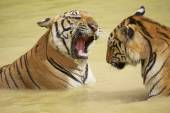 Adult Indochinese tigers fight in the water. — Stock Photo