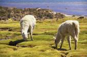 White alpacas graze in Lauca National park, circa Putre, Chile. — Stock Photo