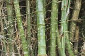 Clump of bamboo trunks with names on the bark in Suphan Buri, Thailand. — Stock Photo