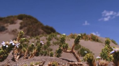 View to the Andean flowers with the blue sky and clouds at the background in Lauca National Park, Chile. — Stock Video