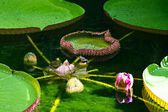 Leaves and flowers of Victoria waterlily, Ischia, Italy — ストック写真