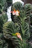 Beautiful cactus in the Giardini Ravino botanical garden on Ischia island, Italy — Stockfoto