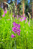 Chamerion angustifolium wild-growing curative plant of Siberia — Stock Photo