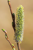 Willow acutifoliate (Salix acutifolia) — Stock Photo