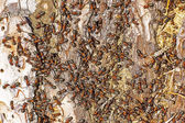 Red forest ant (Formica rufa) — ストック写真