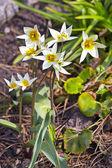 Cultivated flower Tulip Turkestani (Latin Tulipa turkestanica) — Stock Photo
