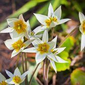 Tulip Turkestani (Latin Tulipa turkestanica) — Stock Photo