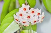 The curling bush with a flower (Latin Hoya carnosa) — Stock Photo