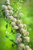 Zveroboelistnaya Spirea (Spiraea hypericifolia) — Stock Photo