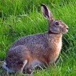 Portrait of a hare in the field — Stock Photo #61155511