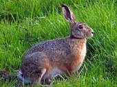Portrait of a hare in the field — Stock Photo