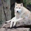 White wolf — Stock Photo #61289593