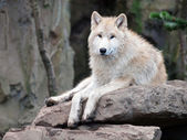 Loup blanc — Photo