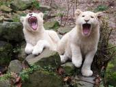 White Lion Youngsters — Stock Photo
