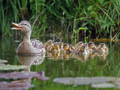 Duck mother with ducklings — Stock Photo