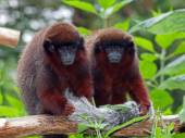 Red Titi Monkey — Stock Photo